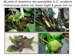 Strawberry Plant Diseases - recent advancements in strawberry integrated disease management in
