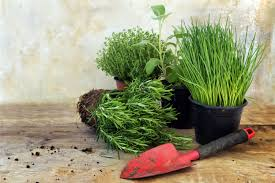 herbs indoors giy grow your kitchen herbs indoors and have a constant winter supply