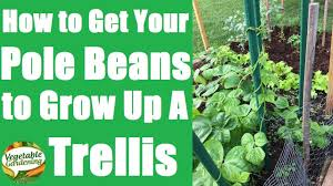 how to grow pole beans up a teepee pole trellis grow a lot of