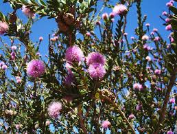 small australian native plants melaleuca nesophila mallee native plants