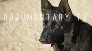 belgian shepherd kinds war cry german shepherd dogs from ipo ring to bright lights of