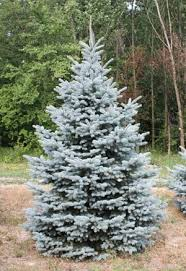 blue spruce trees blue colorado spruce