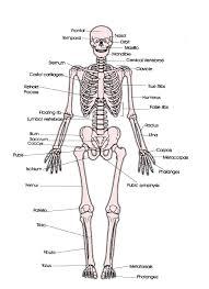 Appendicular Skeleton Worksheet Skeleton Diagram With Labels Anatomy Organ