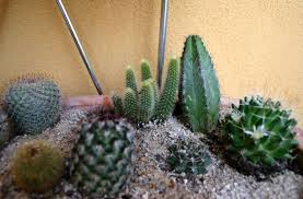 classic cactus ring holder images What is cactus mix how to make cactus soil for indoor plants jpg