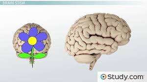 What Portion Of The Brain Controls Respiration Brain Structures And Functions Part I Video U0026 Lesson Transcript