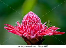 Red Ginger Flower - red ginger plant stock images royalty free images u0026 vectors