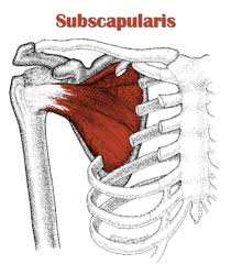 Innervation Of Supraspinatus Muscles 26 35 Flashcards Easy Notecards