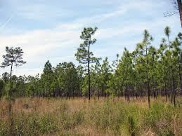 native plants of alabama alabama u0027s pines great days outdoors