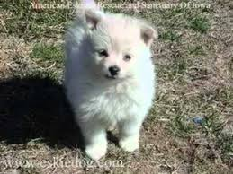american eskimo dog toy for sale american eskimo dogs toy minature standard youtube