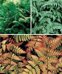 foliage perennial plants ferns ornamental grass seeds at burpee