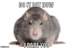 Rat Meme - image tagged in rat now imgflip