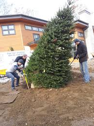 large colorado blue spruce trees delivered and planted by new