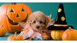 4k halloween wallpaper image gallery of cute puppy halloween wallpaper
