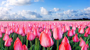 Flower Field Wallpaper - pink tulips gorgeous field beautiful desktop wallpaper flower