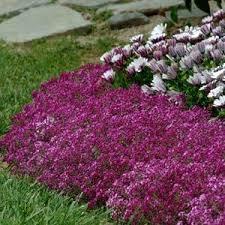 alyssum flowers clear sup sup purple shades alyssum