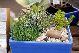 cactus u0026 succulents dennis u0027 7 dees