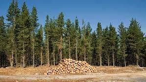 radiata pine tree britannica
