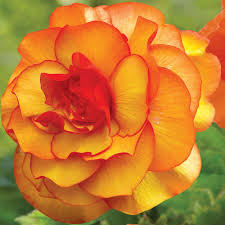 begonia flower 5 cm to 6 cm picotee yellow begonia 3 pack 20000111 the home depot