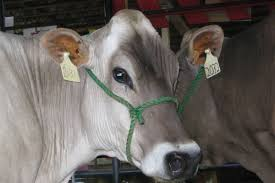 15 things you should know about brown swiss cattle thatsfarming com