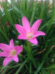 lilies flowers botany why do pink lilies flower only after rains and not