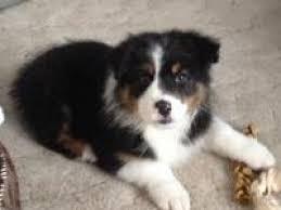 australian shepherd names male cooper male puppy names petmd