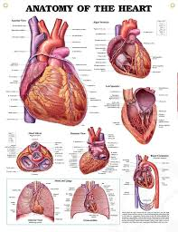 Pictures Of Anatomy Of The Human Body Best 25 Heart Anatomy Ideas On Pinterest Diagram Of The Heart