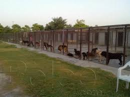 belgian shepherd for sale in lahore pictures of world class german shepherd males femals and