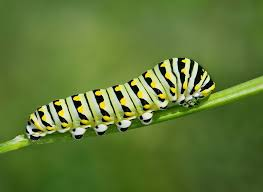 before and after pictures of caterpillars turning into butterflies