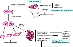 Tissue Renewal Regeneration And Repair Stem Cells Plasticity And Cancer Uncomfortable Bed Fellows