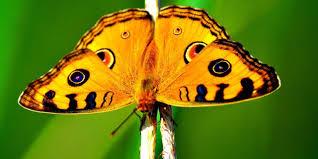 earth the surprising way butterflies sense their enemies