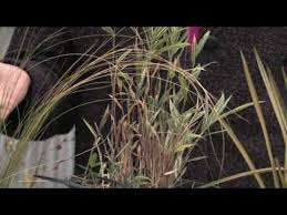 how to grow grass how to grow ornamental grass from seed