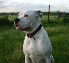 american pitbull terrier white with black spots american bulldog doggy heaven pinterest american bulldogs