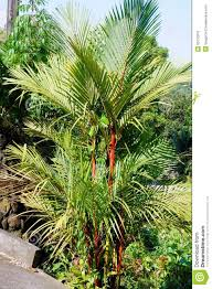decorative tropical trees for landscaping stock photo image of