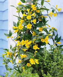 buy a container plant now false jasmine bakker com
