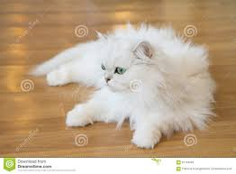 gatti persiani bianchi gatti persiani bianchi immagine stock immagine di 67134053
