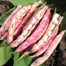 Types Of Garden Beans - organic tongue of fire bean seeds