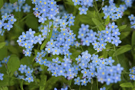 edible blue flowers for edible flowers forget me nots
