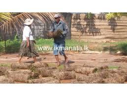 All Island Landscape by All Island Grass Suppliers Negombo Ikmanata Lk න ම ල