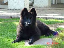 belgian sheepdog club of the rockies king shepherd puppies