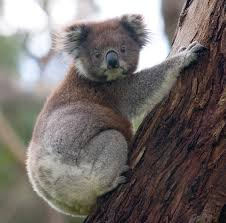 file koala climbing tree jpg wikipedia