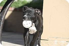 colby american pitbull terrier mission viejo ca pit bull terrier meet colby a dog for adoption
