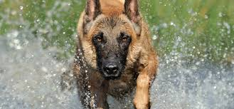 belgian shepherd dog rescue belgian malinois short haired fawn dog adogbreeds com