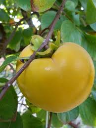 Persimmon Flower - persimmon grow guide
