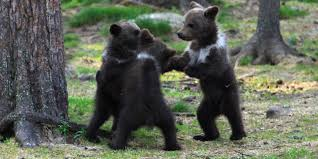 Dancing Bear Meme - bear cubs play ring around the rosie and we all fall down from