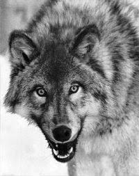fox wolf hybrids mammalian hybrids biology dictionary