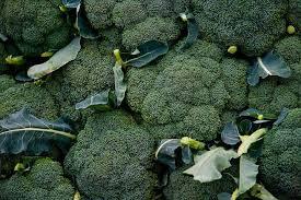 broccoli planting growing and harvesting broccoli plants the