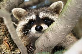 Tennessee wild animals images Tennessee state wild animal raccoon jpg