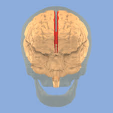 Lab Practical Anatomy And Physiology Brain And Spine Lab Practical Anatomy U0026 Physiology 213 With