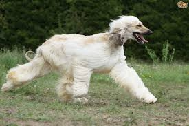 afghan hound attack what breeds of dog have the strongest prey drive and why