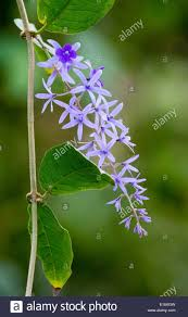 blue flower of climbing plant on the osa peninsula in costa rica